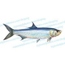 Tarpon Fish Decal